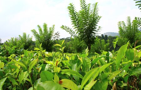 kandy: The tea plantation near Kandy Stock Photo