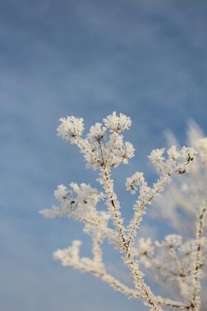 Plant in hoarfrost against the sky photo