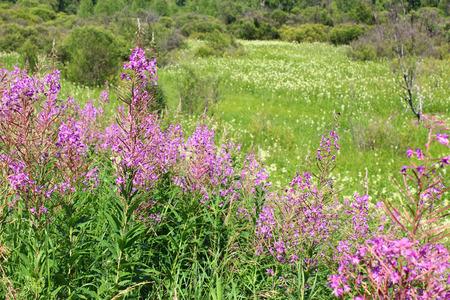 kuril: Field with Ivan tea angustifolia Stock Photo