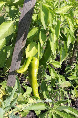 bush pepper: Peppers grow on a Bush