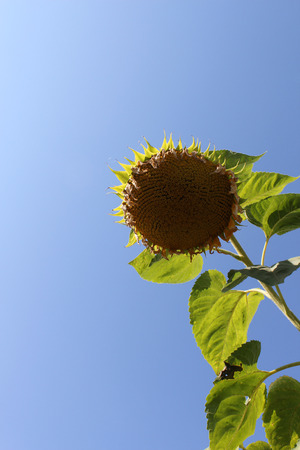 matures: Ripening sunflower on the background of blue sky