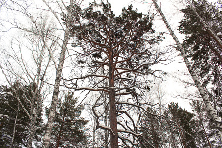 huge tree: A huge pine tree with curved branches