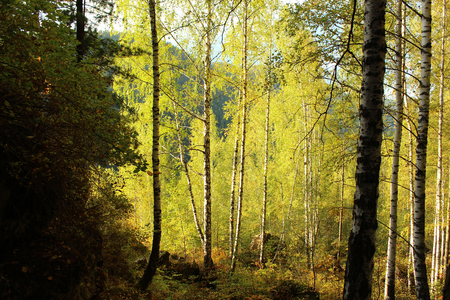 Birches in the forest in autumn Stock fotó
