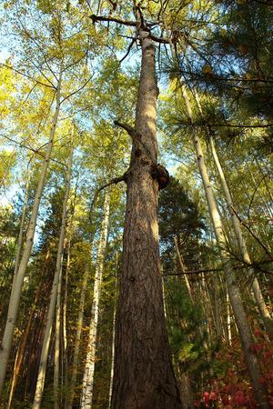 High, dead trunk of pine Stock fotó