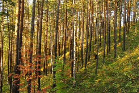 The sun illuminates the pine forest