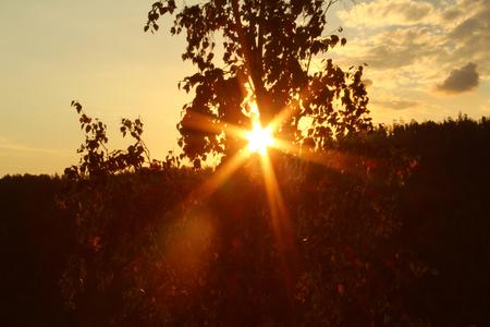 Sun rays among birch leaves