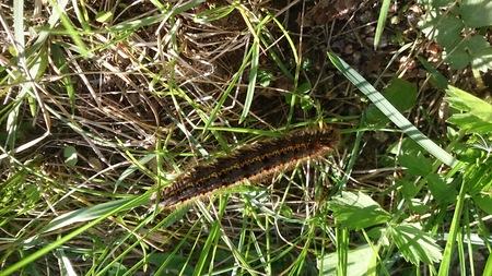 Hairy caterpillar in the grass Stock fotó