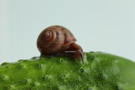 Snail on a cucumber Stock fotó