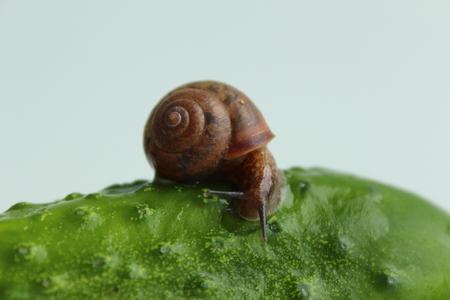 Garden snail on a cucumber