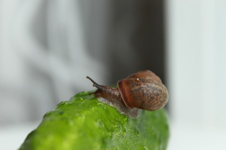 The snail crawls on a cucumber
