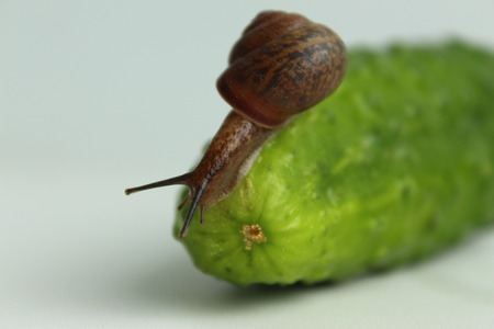 The snail descends from the cucumber