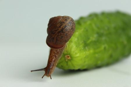 The Garden Snail descends from a fresh cucumber