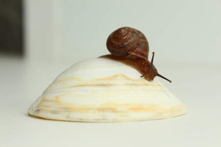 Garden snail on the shell
