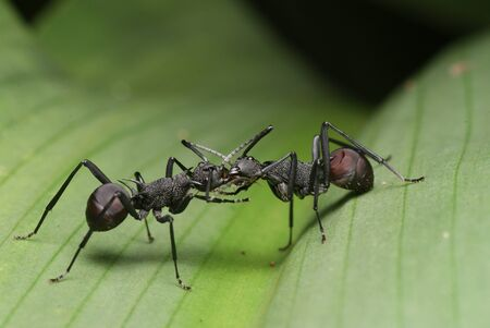 leaf cutter ant: The Fighters Stock Photo