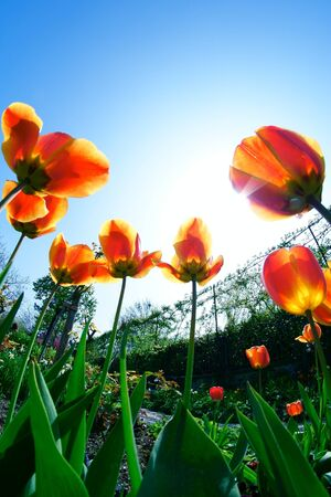 Tulips Under The Sunshine Stock Photo