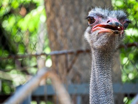 struthio camelus: A picture of the head of an ostrich facing the camera.