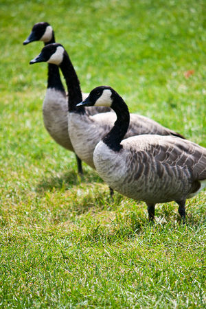 waddling: Three geese waddle across a field in Canada.  Stock Photo