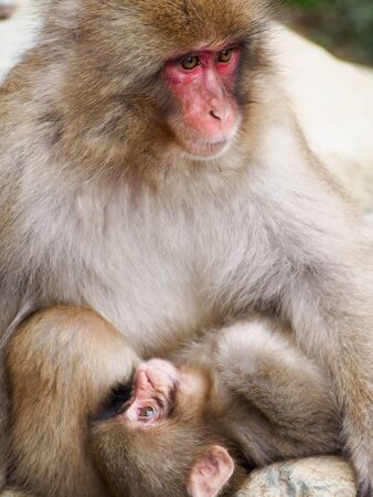 A mother and child snow monkey, or Japanese macaque, snuggling together.