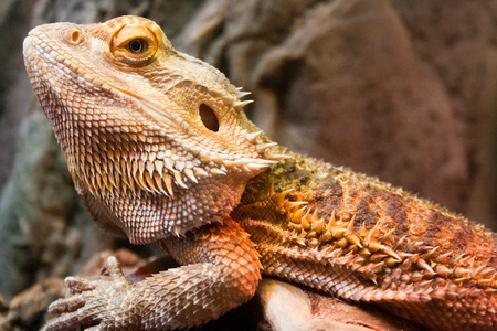 Profile view of a horned lizard perched on a rock.