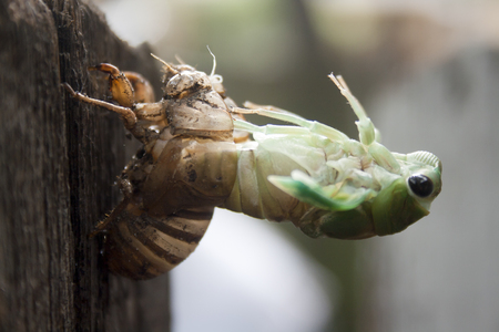 A cicada nymph molting from its exoskeleton as it becomes and adult.