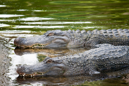 Two alligators in a river lay in wait for their prey.