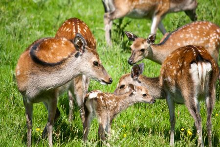 A family of spotted deer in a green meadow on a sunny day. Stock Photo