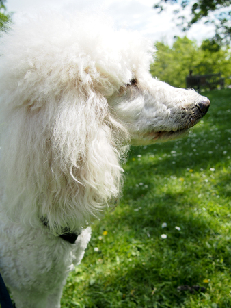 A white standard poodle out on a walk in the park.