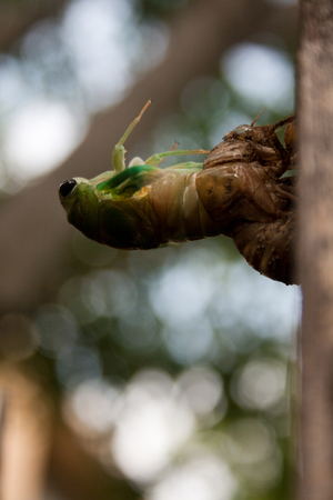 exoskeleton: A cicada nymph molting from its exoskeleton as it becomes and adult.