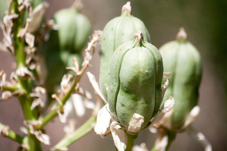 plant seed: Green seed pods on a native plant in Midland, Texas. Stock Photo