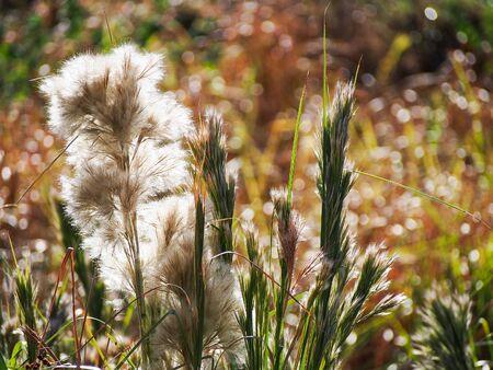 peacefull: Tall brushy bluestem grass, a native Texas grass, in the late summer sun.