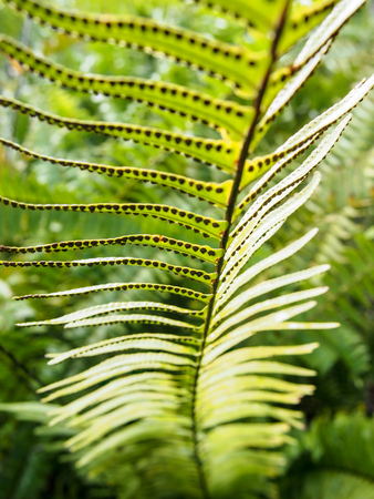 Closeup of a fern frond showing the spores dotting the underside.