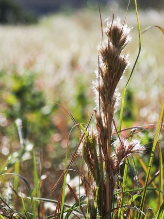 Tall brushy bluestem grass, a native Texas grass, in the late summer sun.