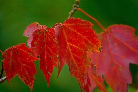 Red autumn maple leaves in Acadia National Park near Bar Harbor, Maine. Standard-Bild