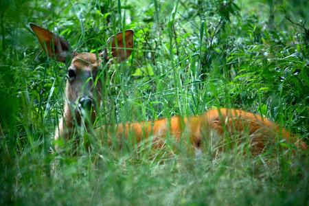 Alert doe deer sitting in tall green grass.