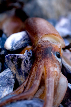 Detail of a squid washed up on a rocky shore at low tide off the coast of Maine.