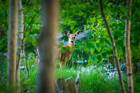 Young deer in a green meadow