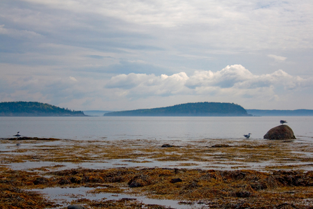 A seascape of the coast of Maine with seaweed and gulls.