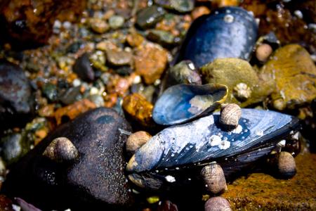 メイン州バー ・ ハーバーの海岸線のムール貝 写真素材 - 75389066