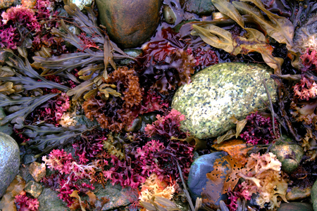 A pile of pinkish colorful seaweed on the shore in Acadia National Park near Bar Harbor, Maine.