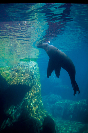 A sea lion viewed from under the water. Standard-Bild