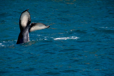 A humpback whale tail sticking out of the ocean near Seward, Alaska.