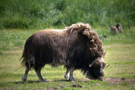 A musk ox grazing in a meadow in Alaska. 写真素材