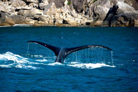스워드, 알래스카 근처의 바다에서 튀어 나와 향유 고래 꼬리.