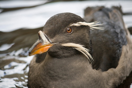 Closeup of the face of a rhinoceros auklet bird floats on top of the water. Stock Photo