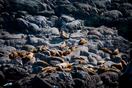 A large group of sea lions sunning on the rocks of Alaska's coast.