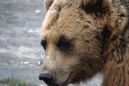 Closeup photo of the head of a brown bear. 写真素材