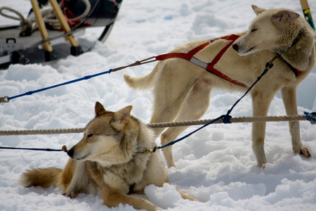 Sled dogs with harnesses resting in the snow.