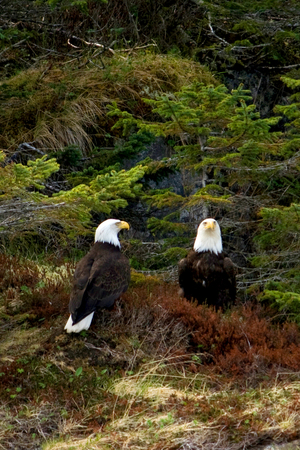 Two bald eagles perched next to eachother on the grass near Seward, Alaska.