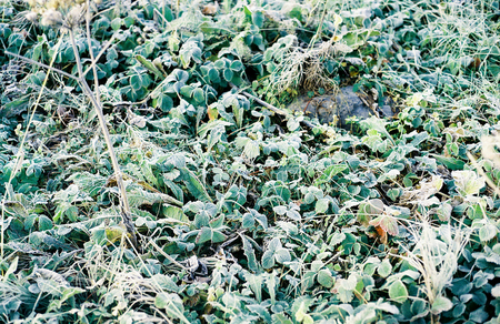 A layer of frost covers these green ground plants.