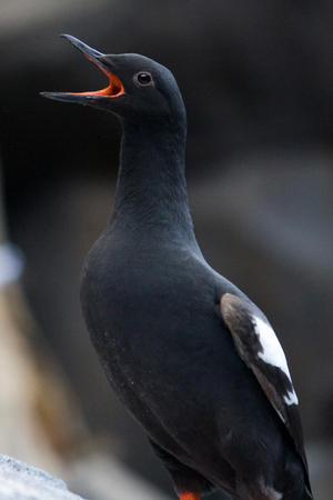 A pigeon guillemot sea bird with open mouth near Seward, Alaska.